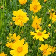 Coreopsis mayfield giants - 10 grams (Bulk discount available)